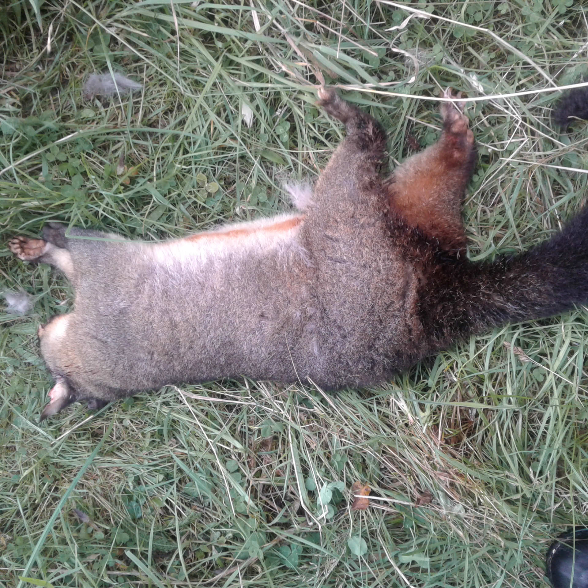 Name:  todays possum.jpg Views: 871 Size:  1.96 MB