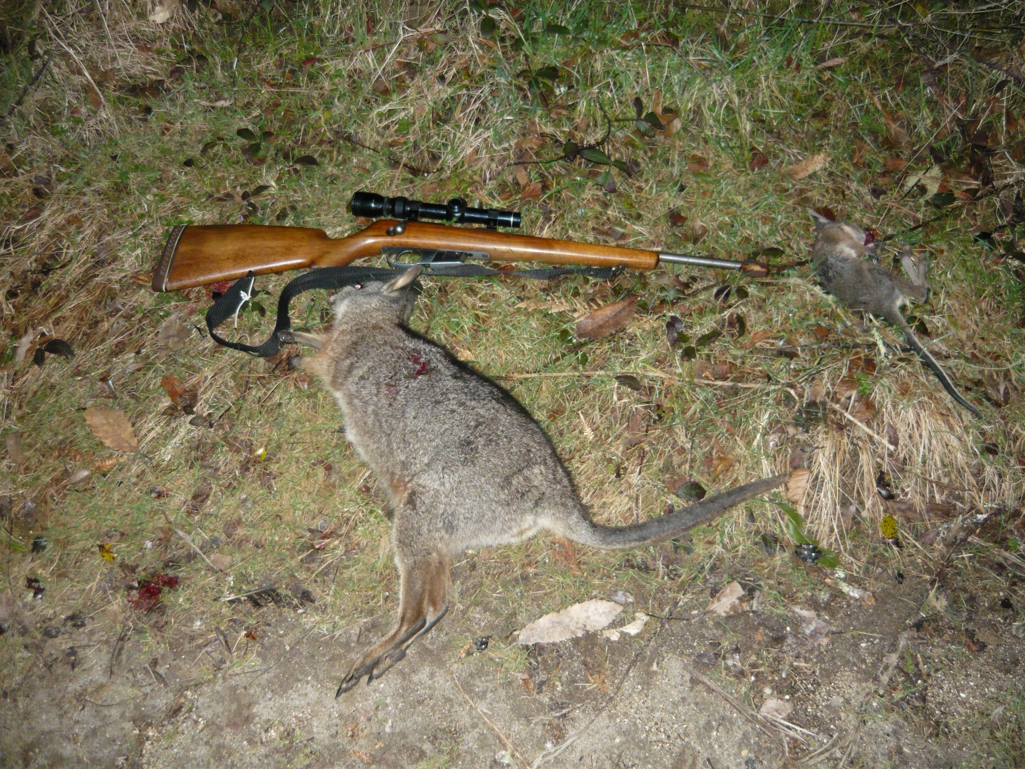 Name:  Wallaby with the 22 KHornet Rotoehu.JPG Views: 395 Size:  3.65 MB