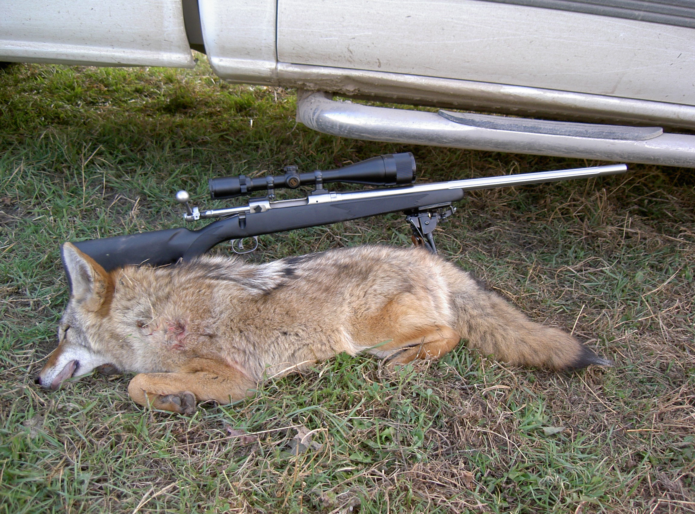 Name:  fall Coyote.jpg