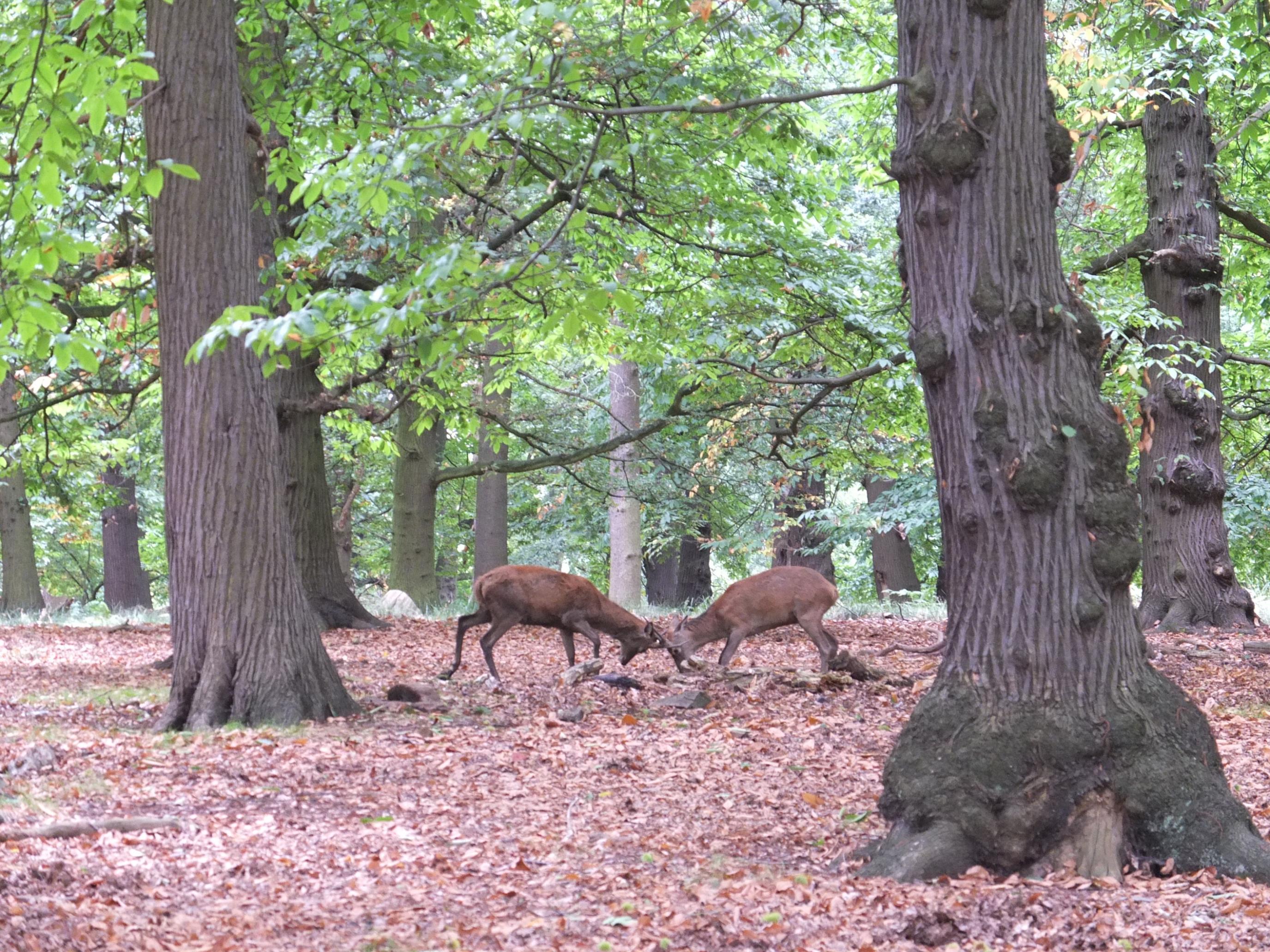 Name:  Deer (15).jpg Views: 508 Size:  987.6 KB