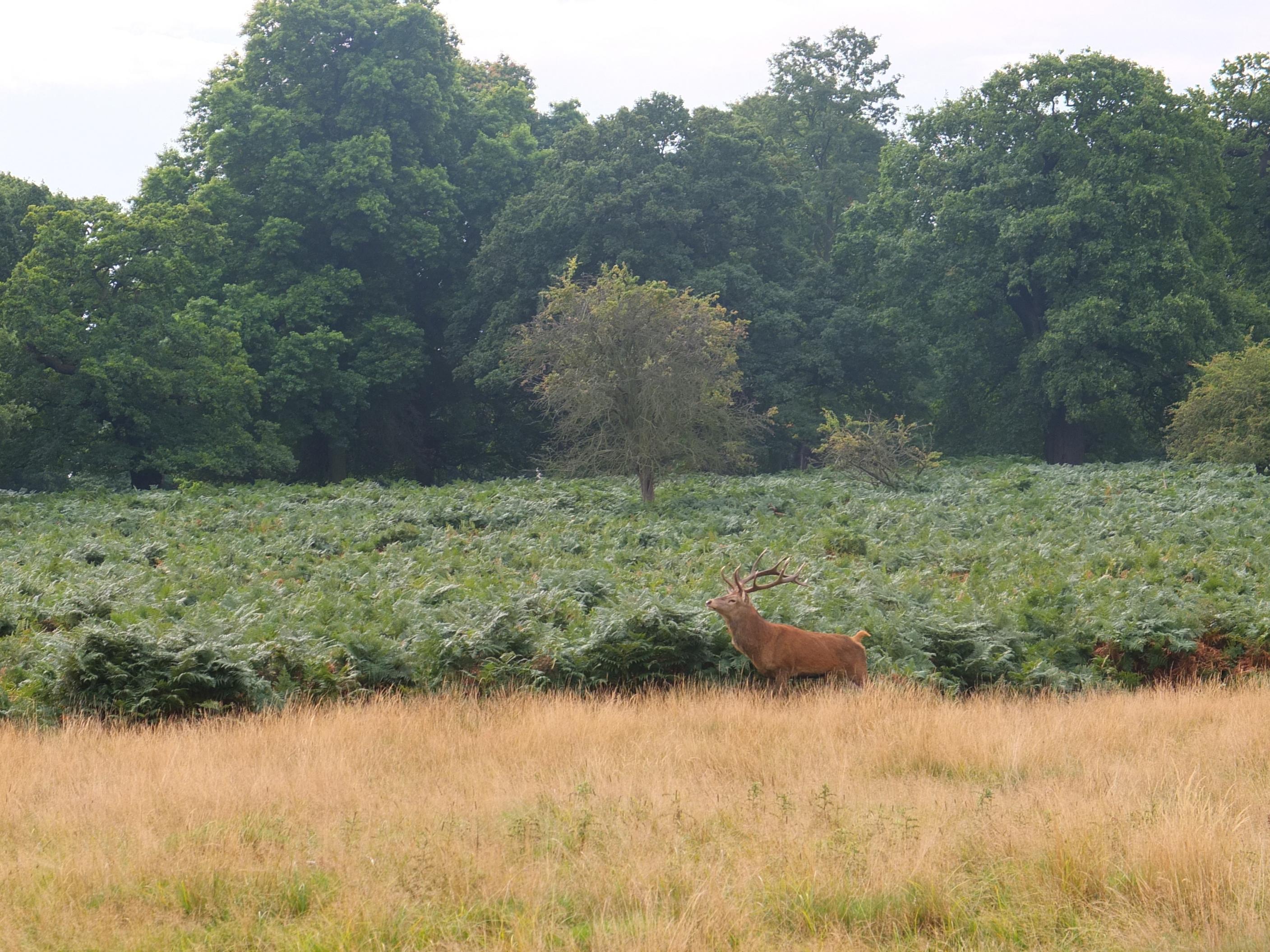 Name:  Deer (28).jpg Views: 364 Size:  865.7 KB