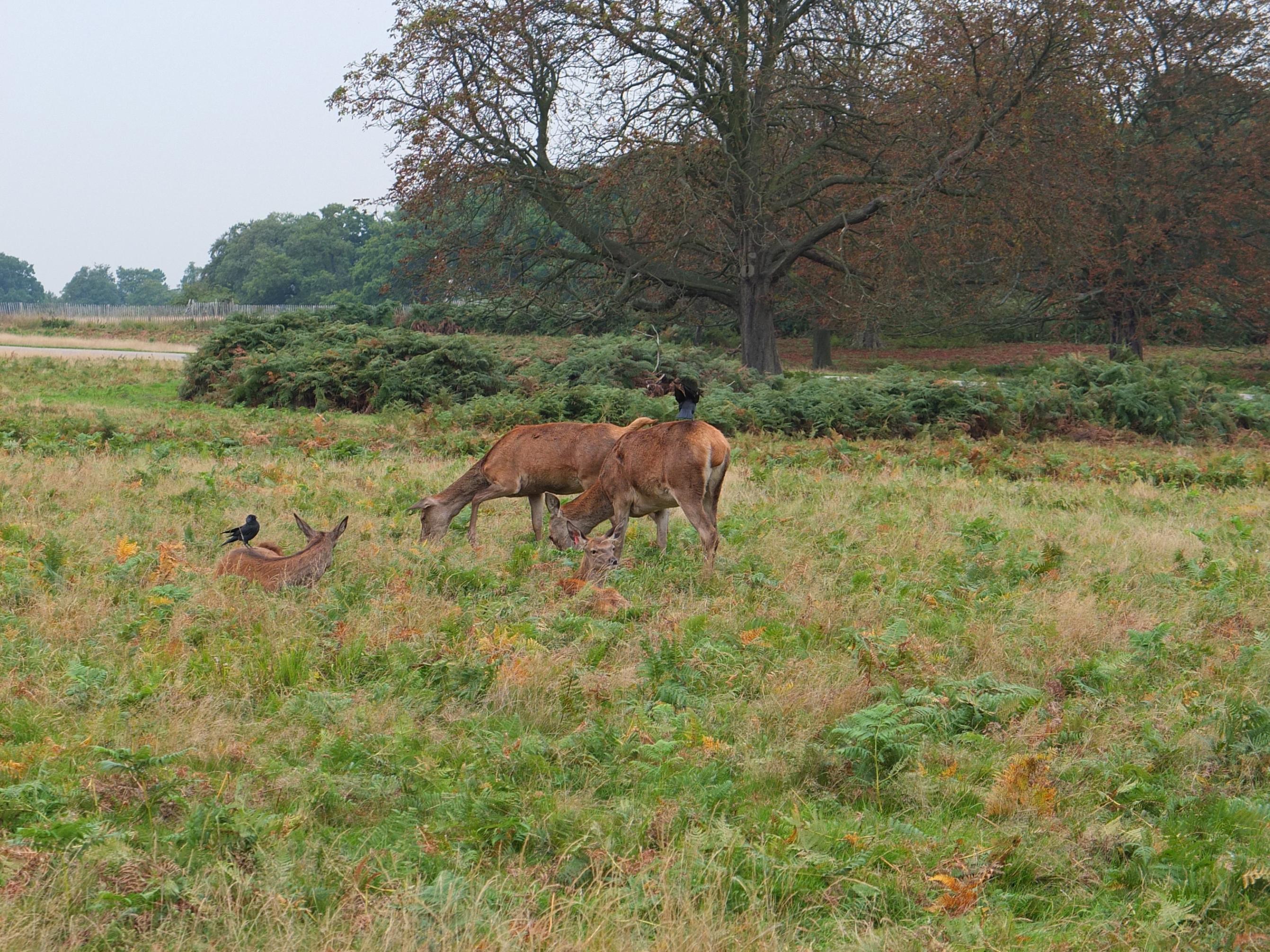 Name:  Deer (5).jpg Views: 341 Size:  1,002.0 KB