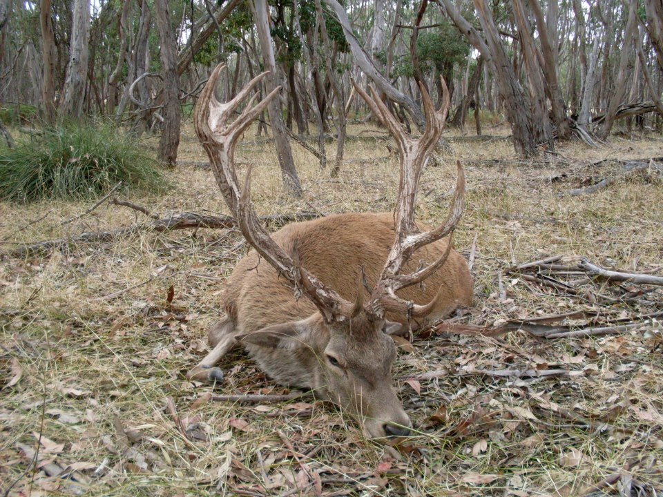 Name:  Red stag 3.jpg Views: 414 Size:  251.2 KB