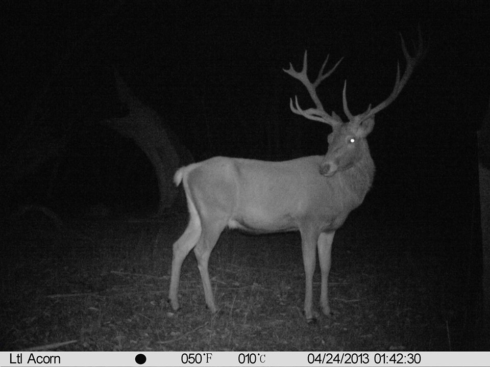 Name:  Red stag.jpg Views: 442 Size:  97.2 KB