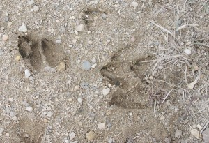 Name:  blog-deer-tracks-300x205.jpg Views: 1041 Size:  32.3 KB