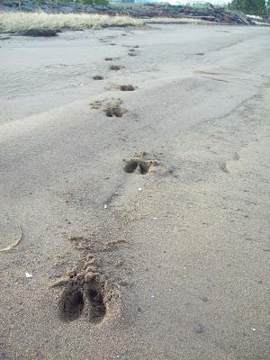 Name:  deer tracks.jpg Views: 1062 Size:  49.5 KB