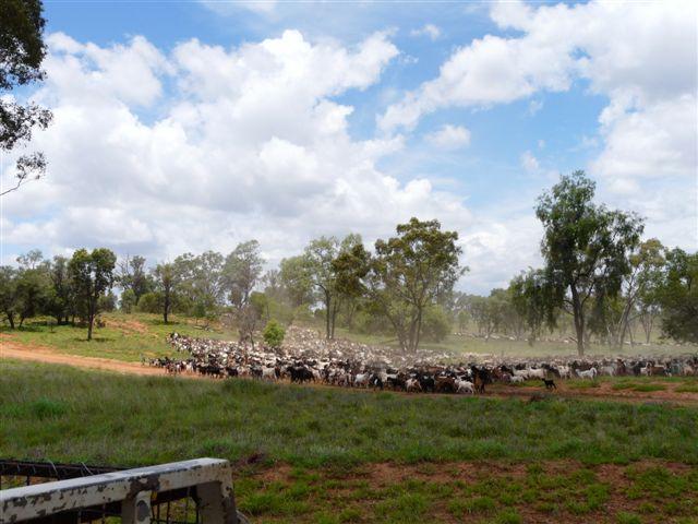 Name:  tomoo -goats 2.JPG Views: 733 Size:  65.1 KB