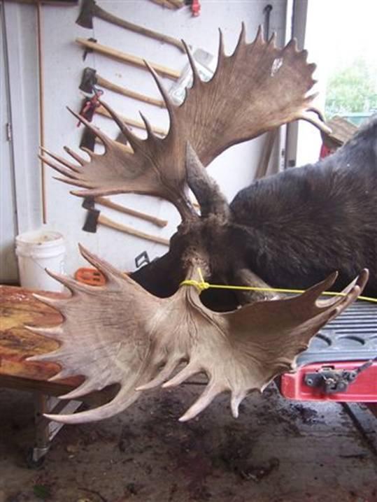 Name:  moose.3.jpg Views: 334 Size:  49.7 KB