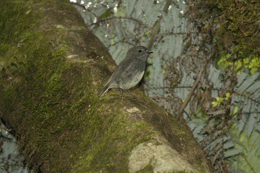 Name:  North Island Robin.jpg Views: 550 Size:  90.1 KB