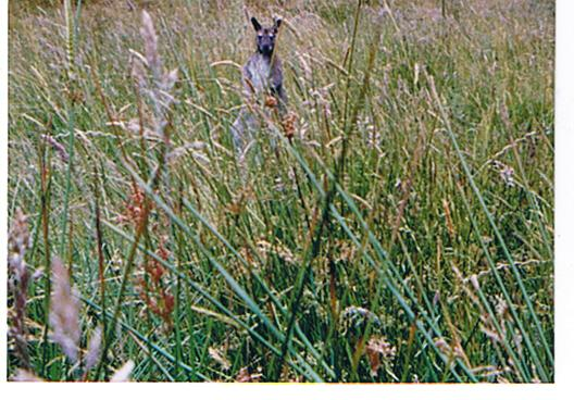 Name:  redneck wallaby1.jpg