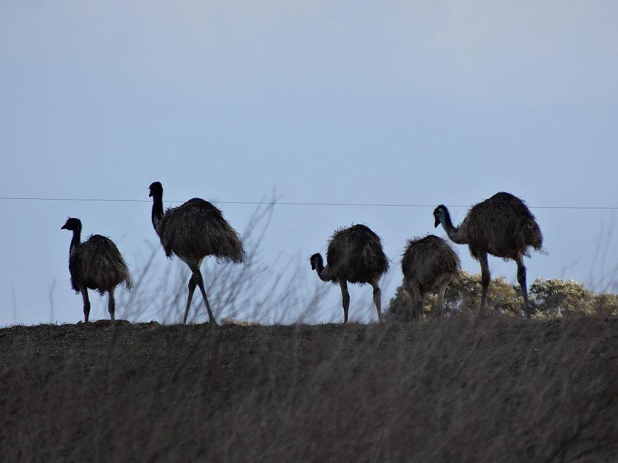 Name:  Emu.JPG Views: 528 Size:  98.4 KB