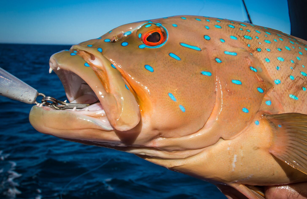 Name:  coral-trout-broome.jpg