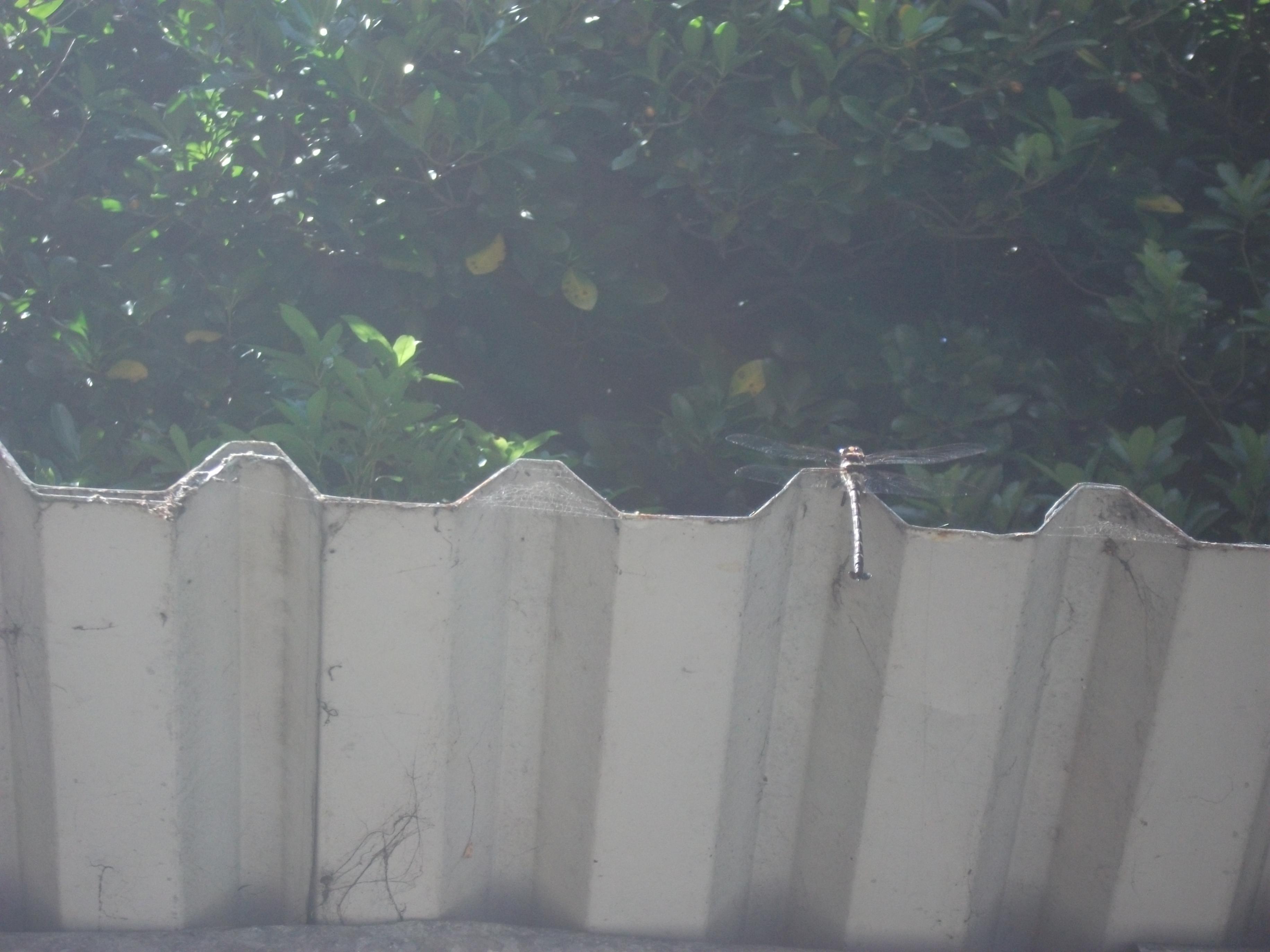 Name:  DSCF1243 Dragonflies.jpg Views: 309 Size:  572.7 KB