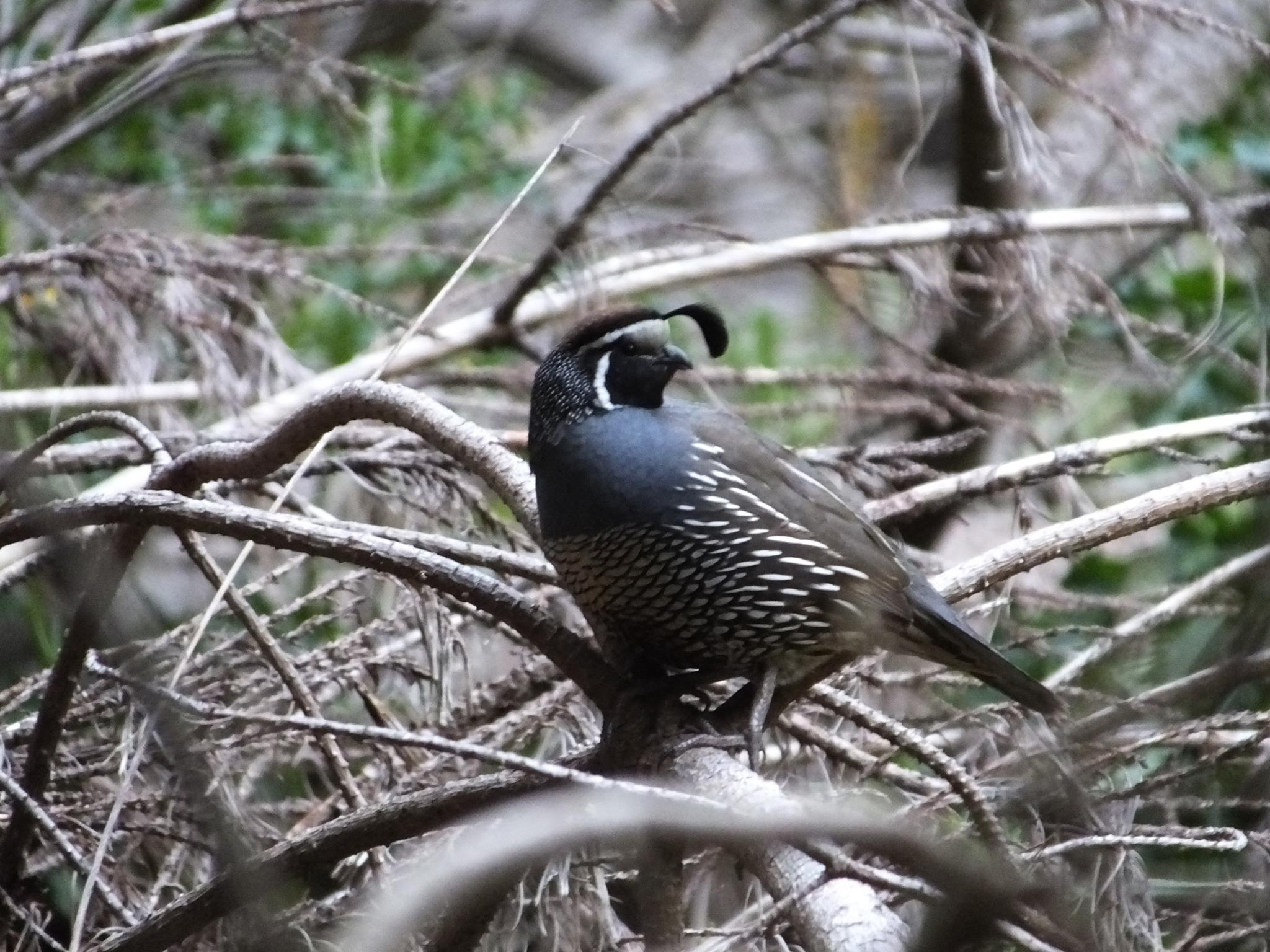 Name:  quail.jpg