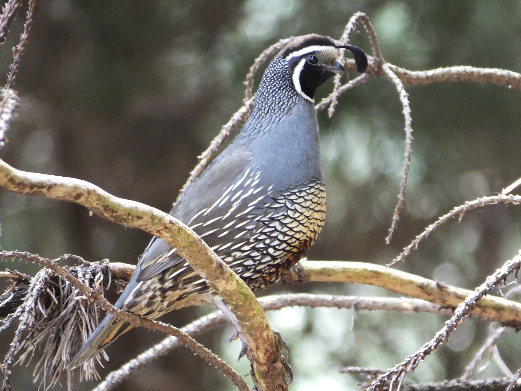 Name:  quail2.jpg Views: 328 Size:  538.3 KB