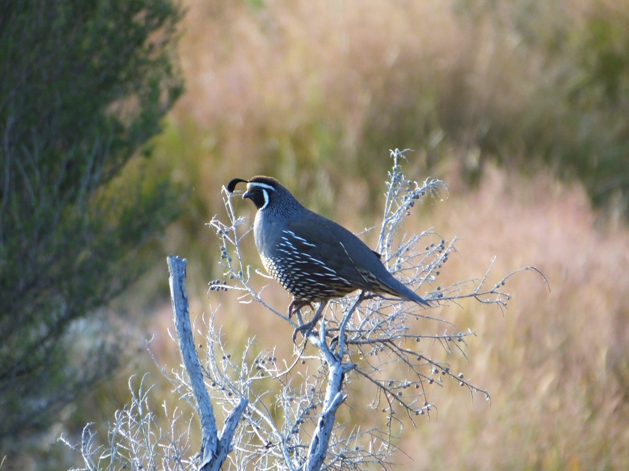 Name:  quail3.jpg Views: 320 Size:  457.3 KB
