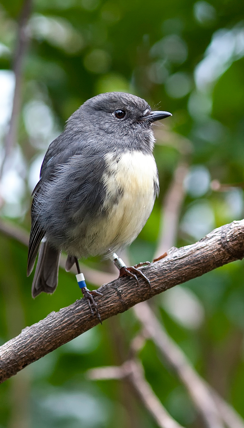 Name:  Bush-robin.jpg