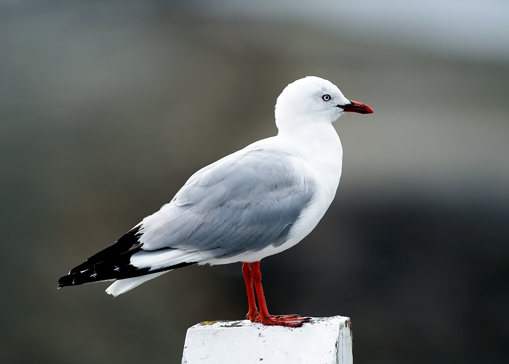 Name:  Seagull-copy.jpg