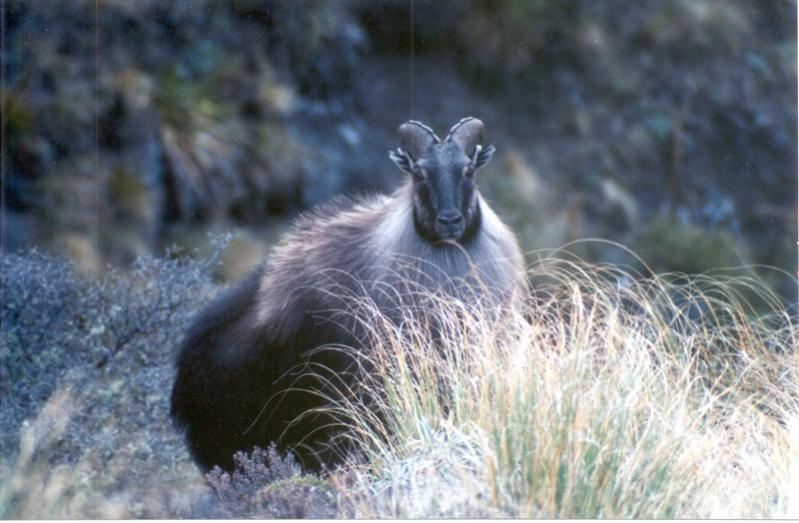 Name:  Bull Tahr Jun02 [800x600].jpg