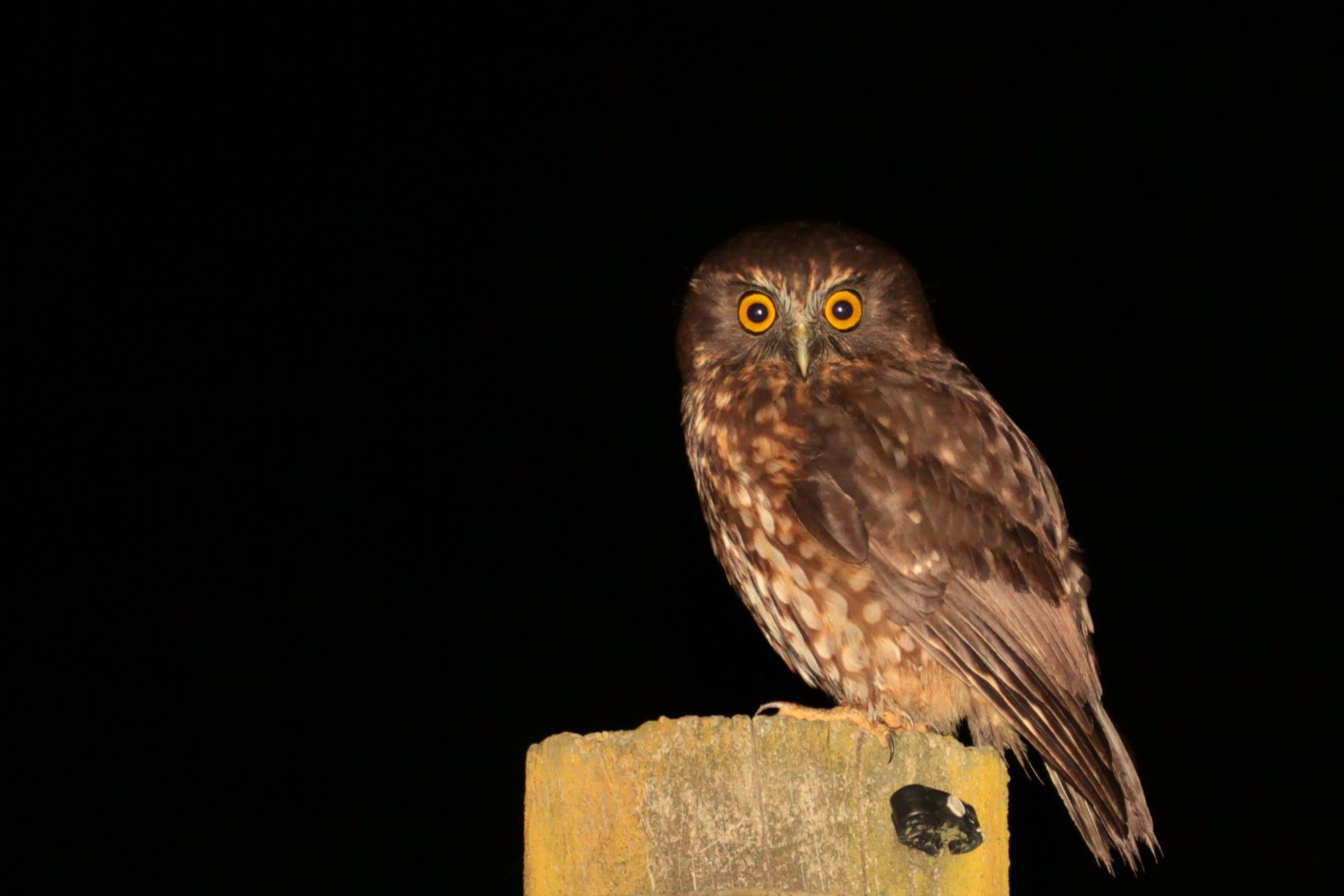 Name:  morepork.jpg