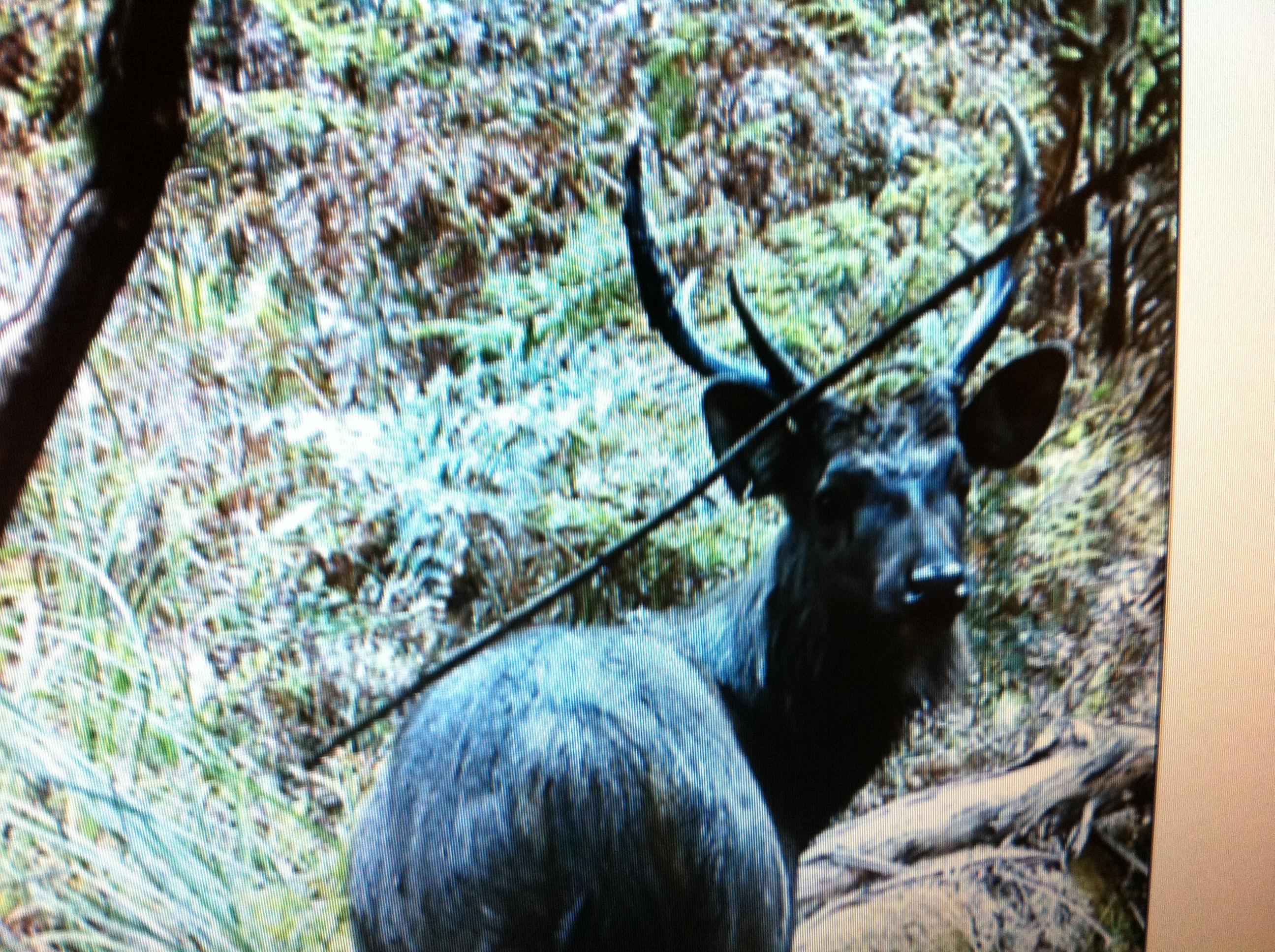 Name:  Sambar trailcam.jpg