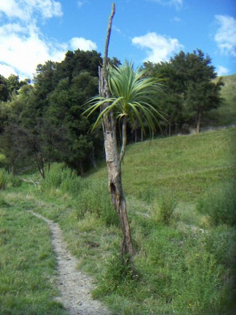 Name:  Cabbage tree.jpg Views: 278 Size:  47.9 KB