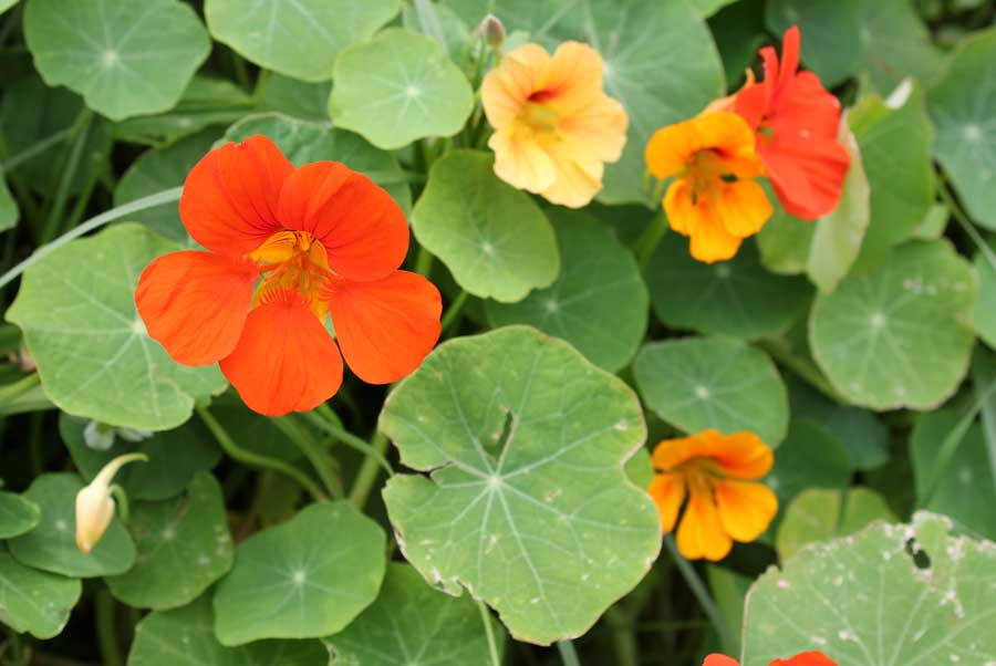 Name:  nasturtium-orange-and-yellow-.jpg