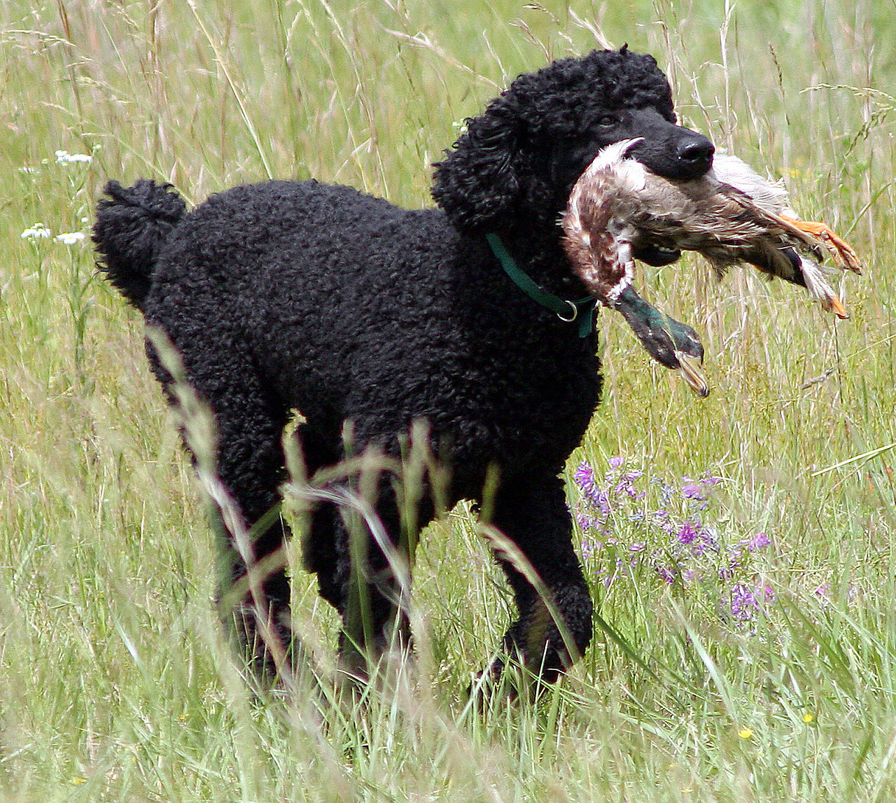 Name:  1280px-Bo_the_poodle_retrieving_a_duck.jpg