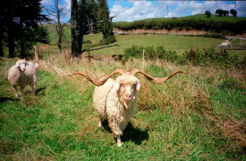Name:  goat.jpg Views: 66 Size:  103.1 KB