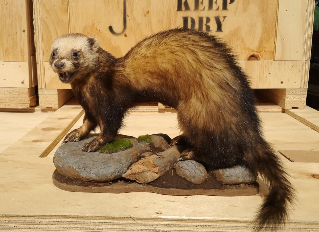 Name:  Ferret2 copy.jpg